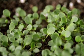 agrião (semeado recentemente)